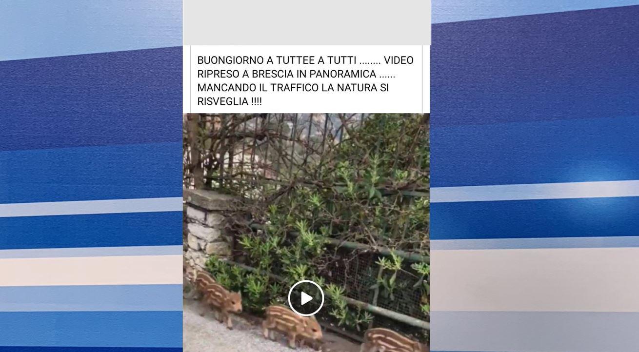 Cinghiali in Maddalena? Solo una fake news